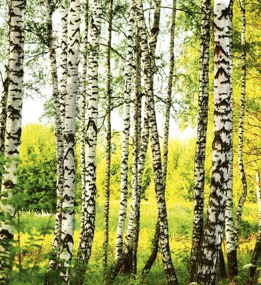 Birch ForestMS-3-0094