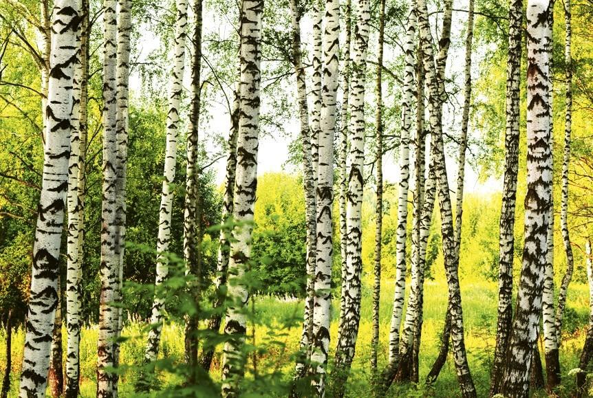 Birch forestMS-5-0094