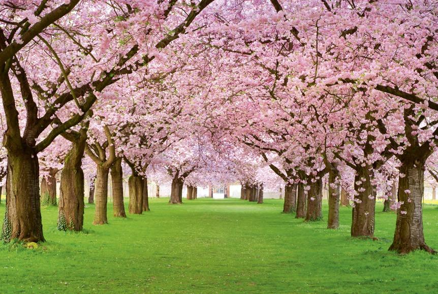 Cherry treesMS-5-0105