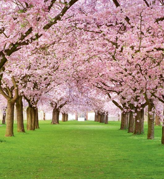 cherry treesMS-3-0105