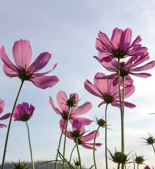 cosmos flowerMS-3-0145