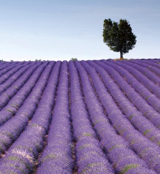 lavender fieldMS-3-0088