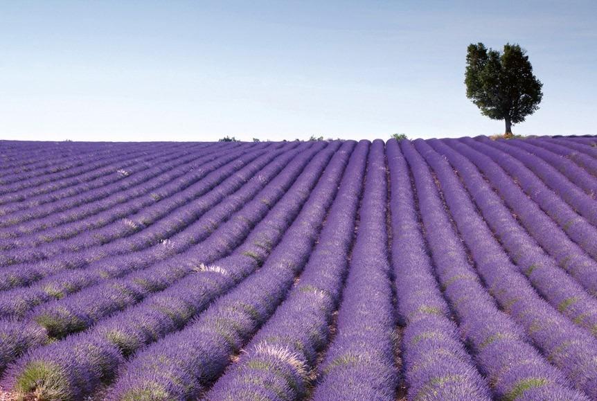 lavender fieldMS-5-0088