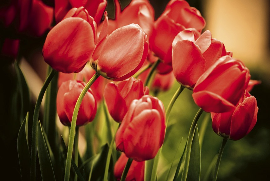 red tulipsMS-5-0128